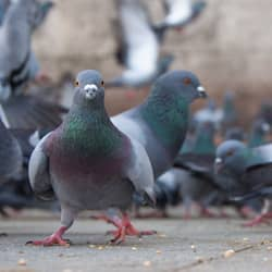 pigeon infestation near indianapolis commercial facility