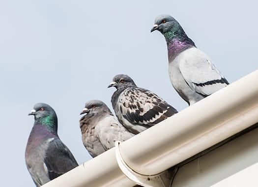 a flock of pigeons on a lexington kenticky roof top durring winter season