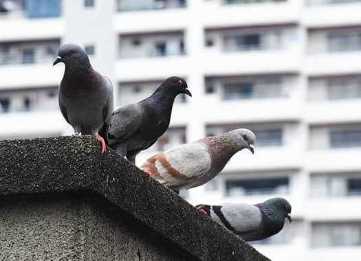pigeons on a building