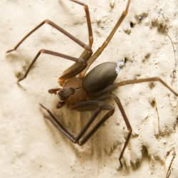 brown recluse in louisville