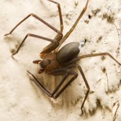 brown recluse in louisville