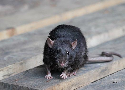 rat in a garage