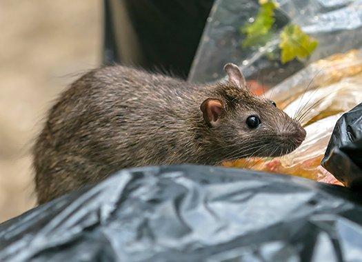 rat in trash