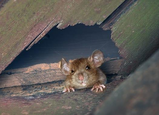a house mouse crawling through a small whole within the walls of an indiana home