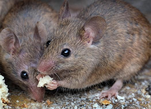 up close image of two mice
