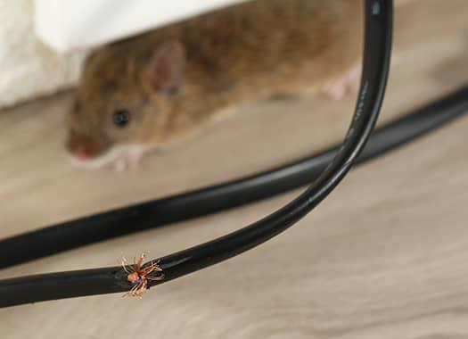rodent next to a chewed wire