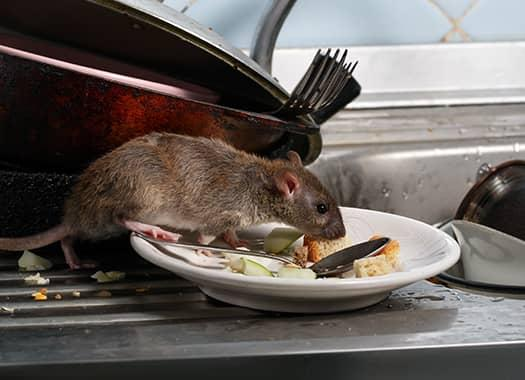 rodent on a plate