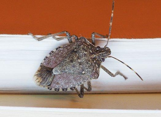 a stink bug crawling on a home wall