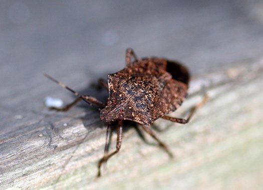 stink bug crawling on wood trim