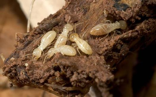 a colony of termites infesting a home
