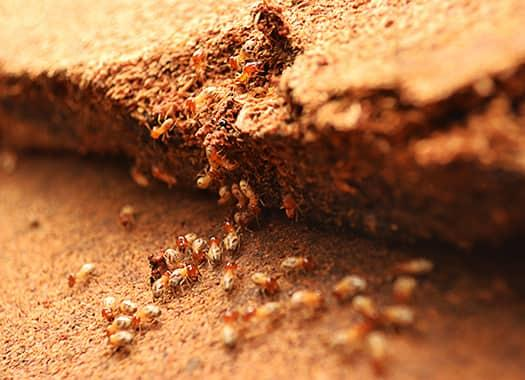 a large swarm of termites displaying the costly damage they have created on an elizabethtown property