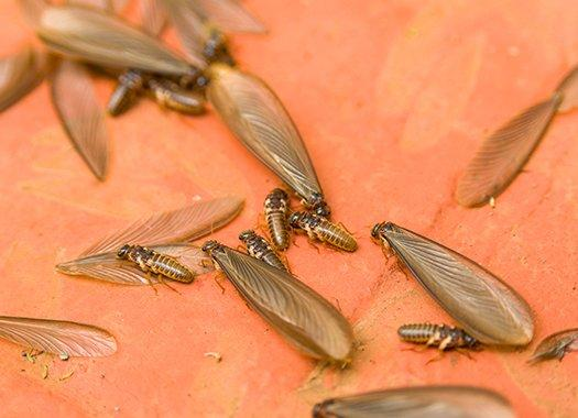 a group of termite swarmers