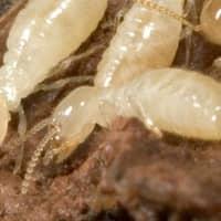 Termites In Indianapolis