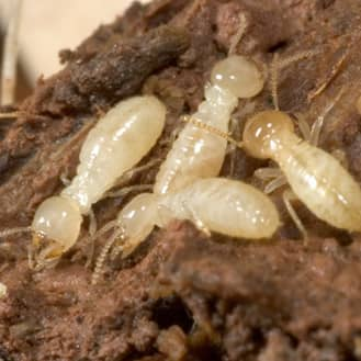 termites destroying wood in a louisville home