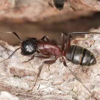image of a carpenter ant up close