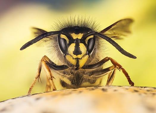 aa wasp in mid flight as it is invading an elizabethtown kentucky garden during early fall season