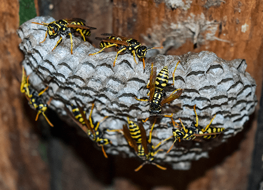 wasps building nest