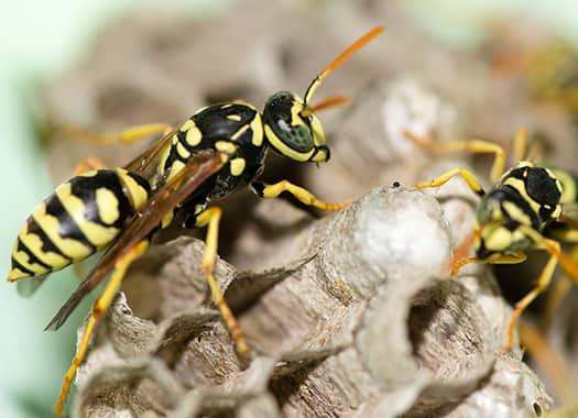 a wasp family is swarming on a large nest in a tere haute property