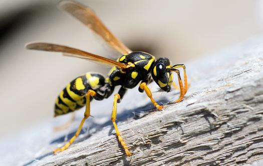 a flying wasp landin g on a wooden picnic table in a lexington back yard