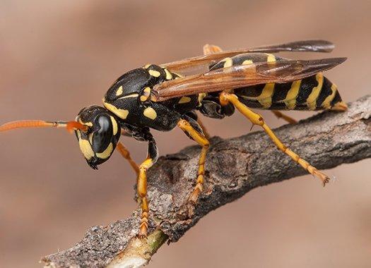 wasp on a twig