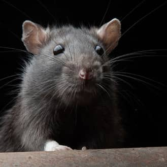 up close image of a rat