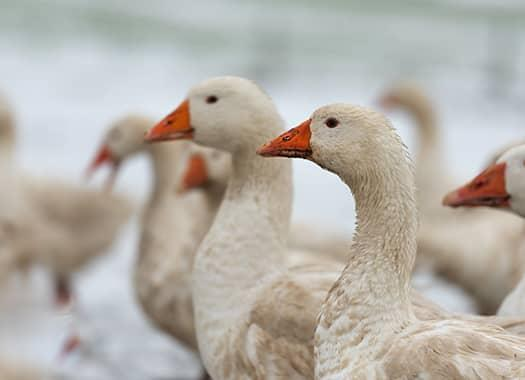 geese in snow