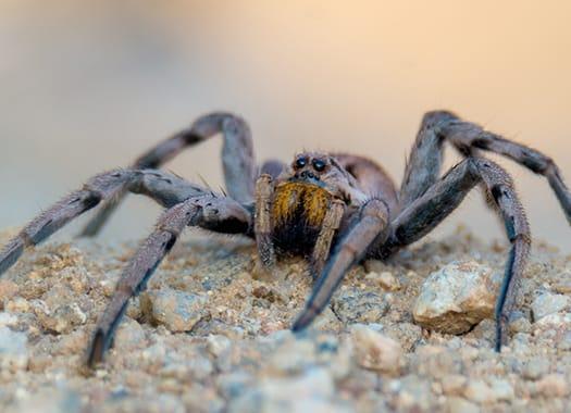 a wolf spider crawling along a lexington floor