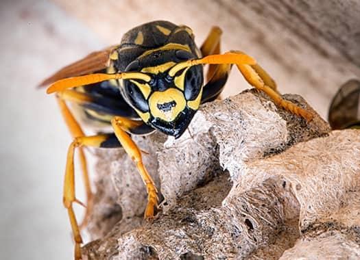 yellow jacket on nest