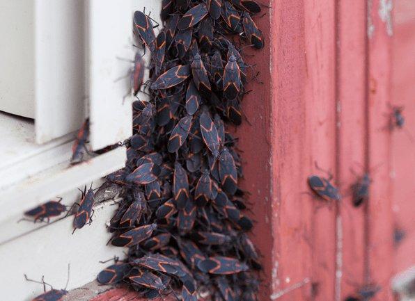 box elder bugs congregating on a house