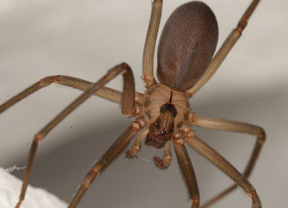 a brown recluse spider in the house