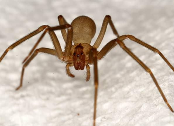 brown recluse spider in evansville home
