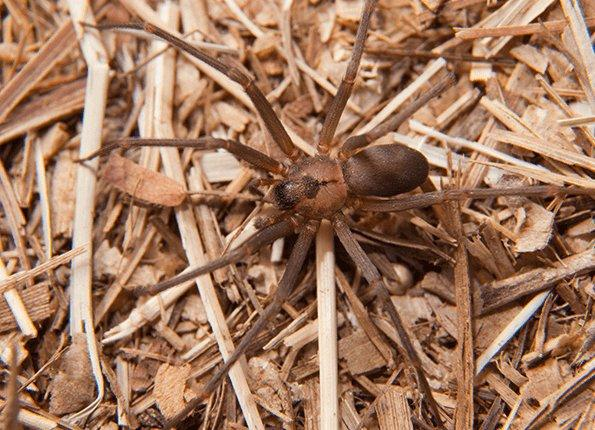 brown recluse spider on the ground