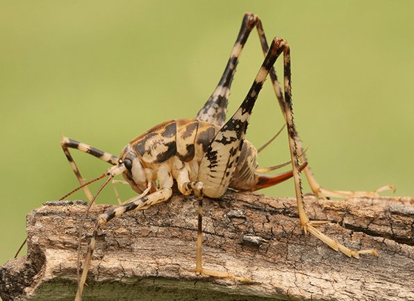 camel cricket on piece of wood outside
