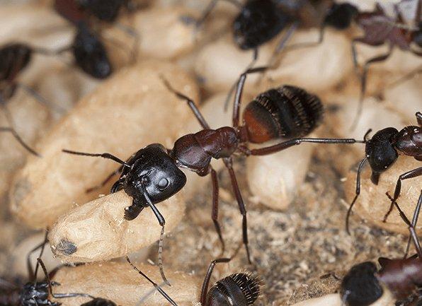 carpenter ants foraging for food