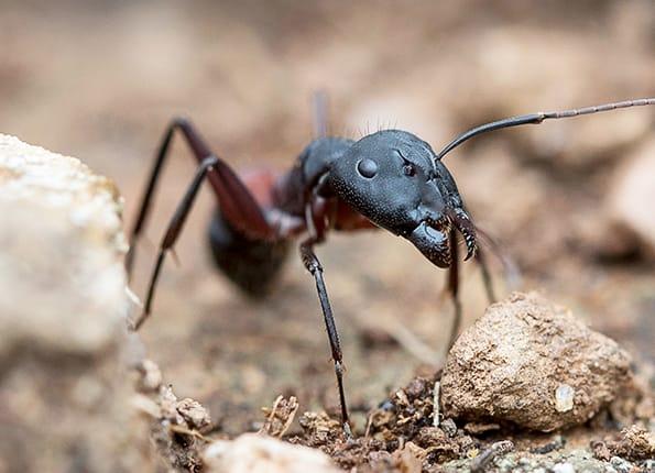 carpenter ant outside