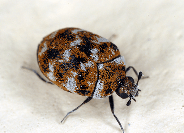 carpet beetle found in home