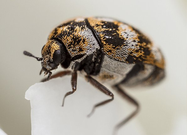 multi-colored carpet beetle