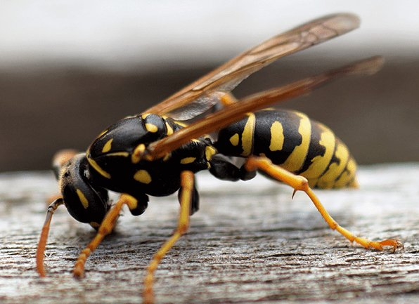 yellow jacket at rest