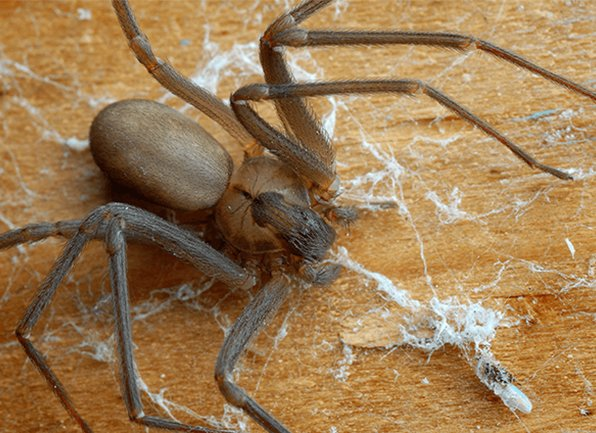 brown recluse spider covered in dust