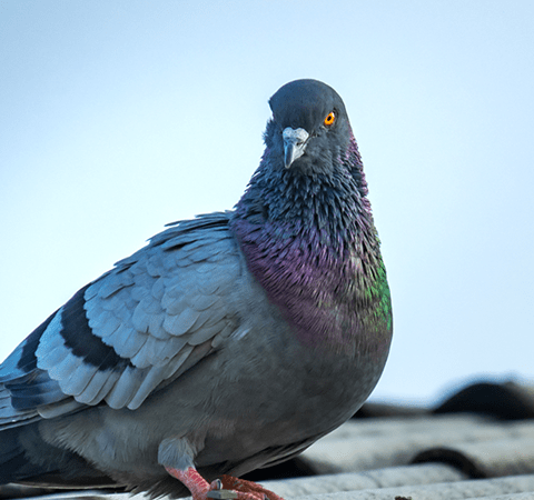 pigeon sitting on rooftop in Indiana
