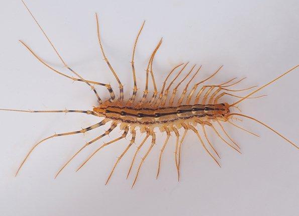 centipede crawling on tub