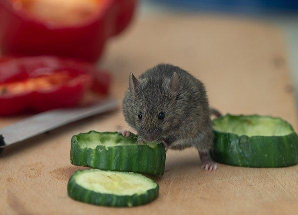 house mouse eating cucumber