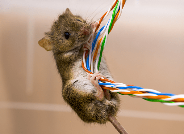 house mouse crawling on wires looking to chew