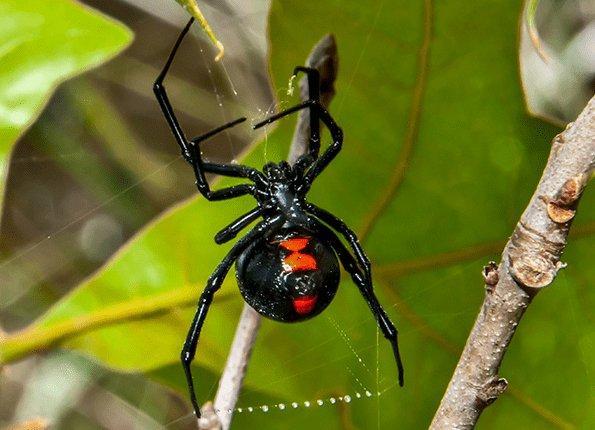 black widow spider showing off red hourglass marking