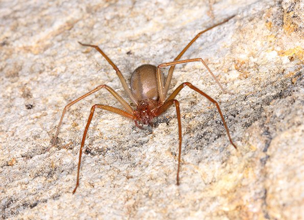 a brown recluse spider in huntingburg indiana