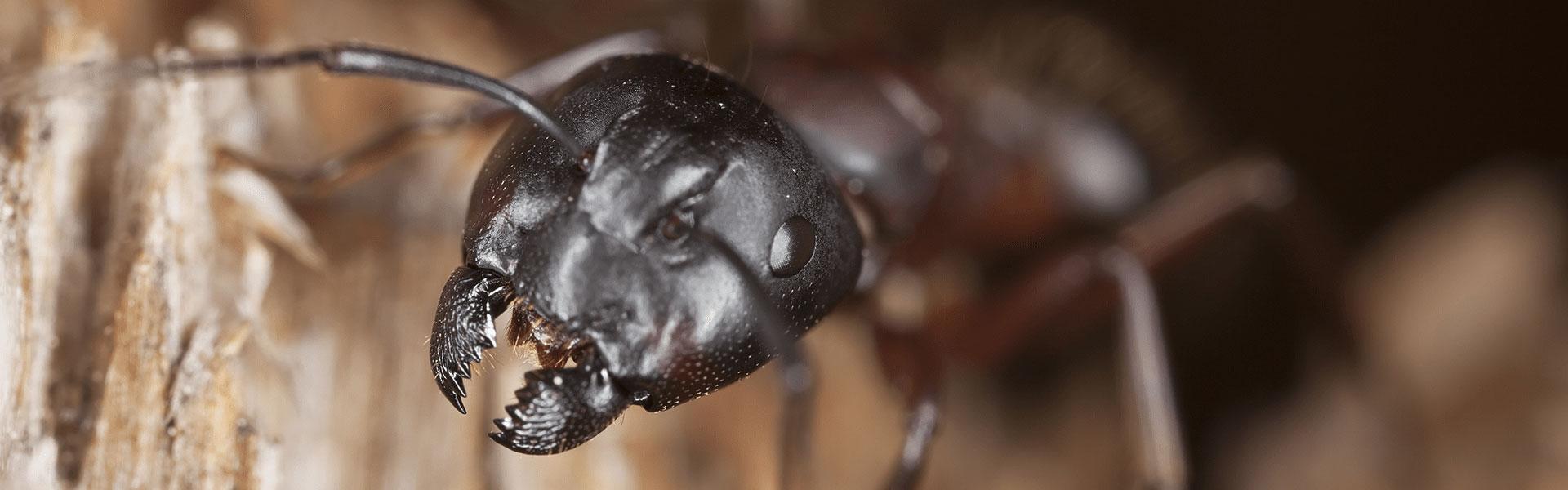 carpenter ant showing destructive mandible