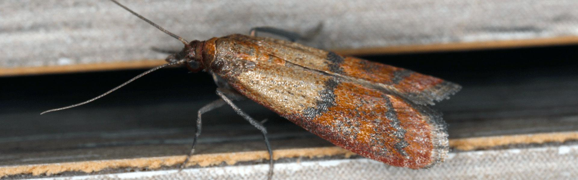 adult indian meal moth