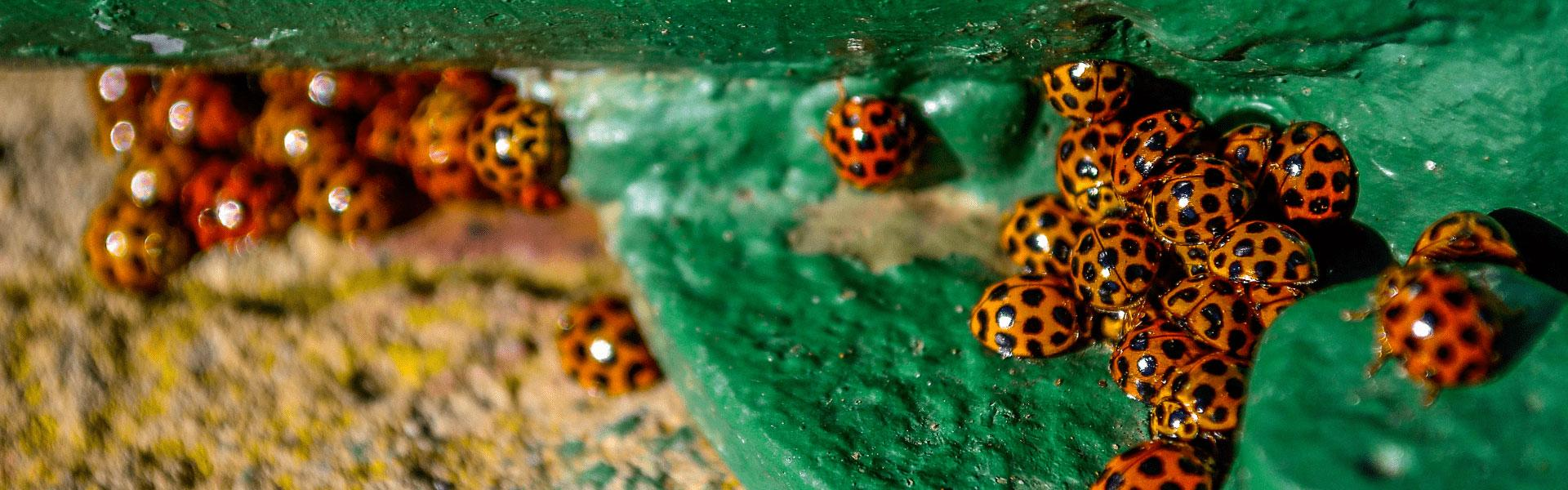 several lady bugs congregating