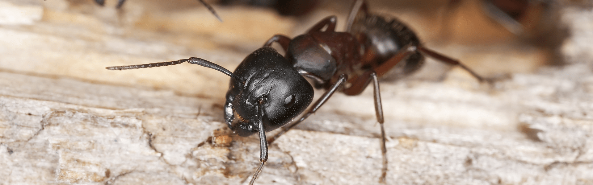 ant control for homes in Indiana, Kentucky, and Illinois