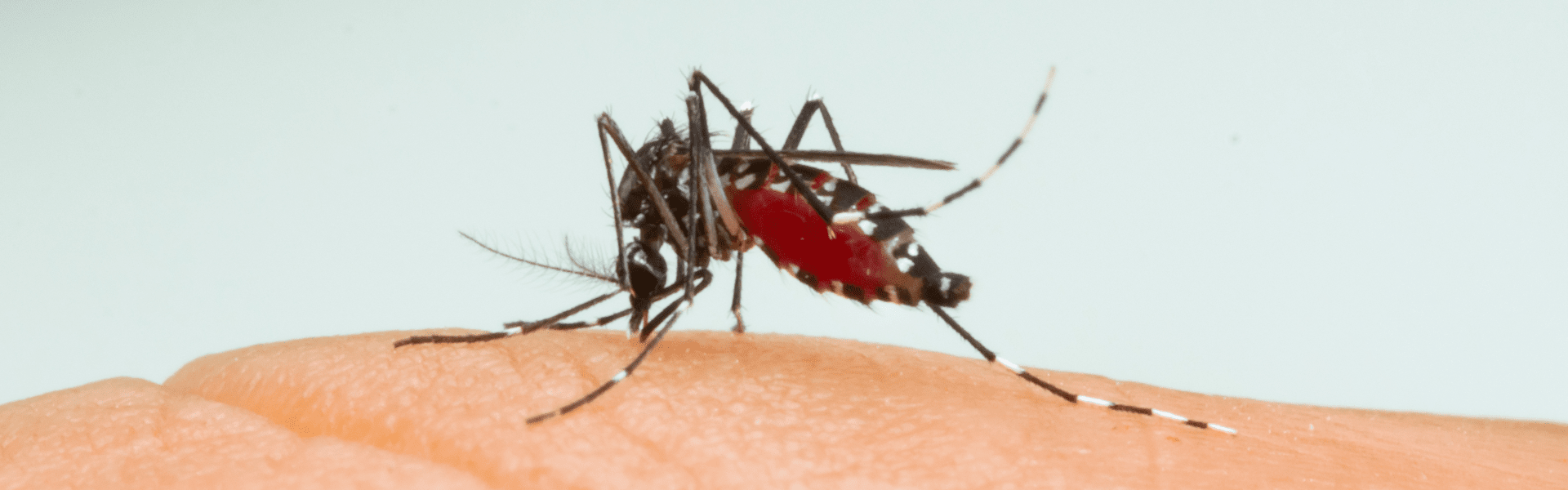 asian tiger mosquito biting person